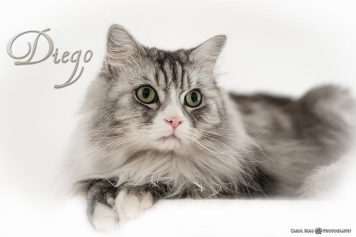 Tierfotografie Fulda Schotten Tierfotos Portrait Maine-Coon-Katze